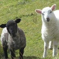 Koyunların sırrı nihayet çözüme kavuştu!
