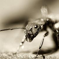 Karınca zombiler bilim adamlarını şaşırtıyor