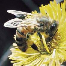 Arılar da tehlikede!