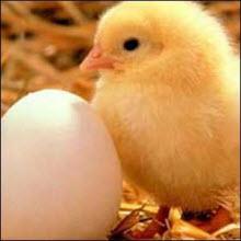 Tavuk mu, yumurta mı?