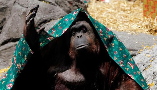 Bir orangutan resmi bir şekilde kişi kabul edildi