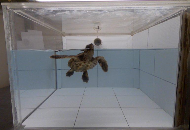 Plastikler kaplumbağaları kendine çekiyor